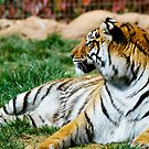 Reclining Tiger by evilcat