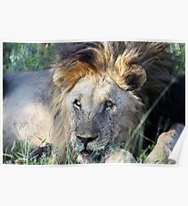 Madikwe Lions The Old Guard Poster