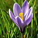 A purple Crocus   by Aj Finan
