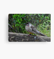 Red Wattle Bird (Anthochaera carunculata) Metal Print