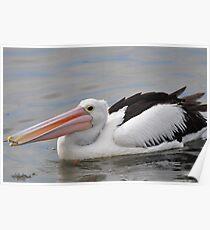 Australian Pelican (Pelecanus conspicillatus) Poster