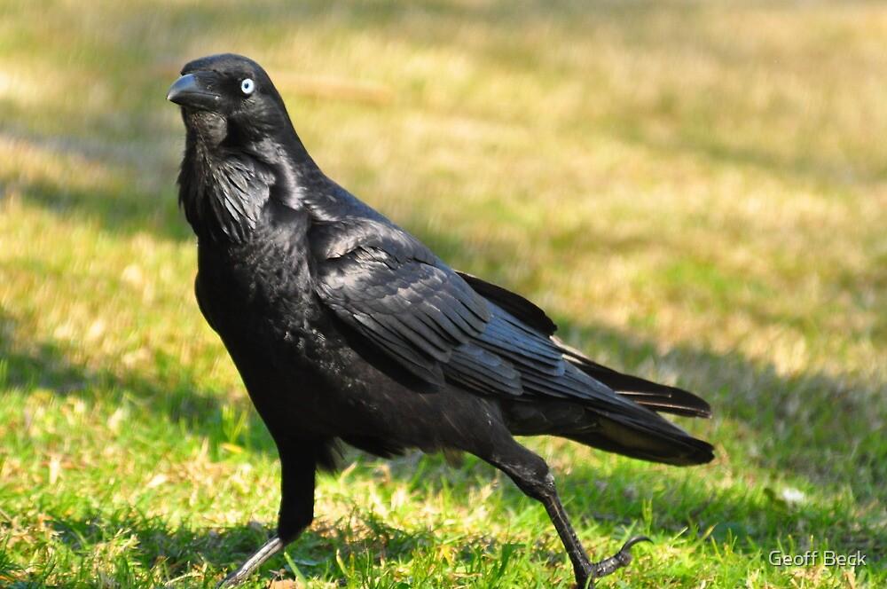 Australian Raven (Corvus coronoides) by Geoff Beck