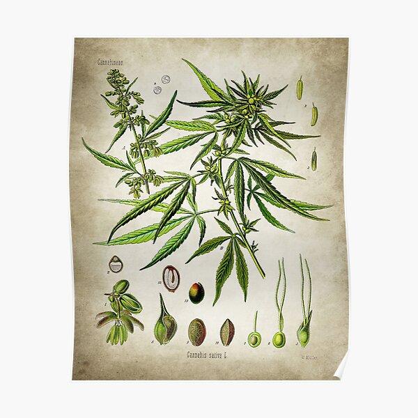 Marijuana Botanical Posters Poster