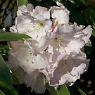 White Rhododendron, Broadfields, Christchurch, NZ by johnrf