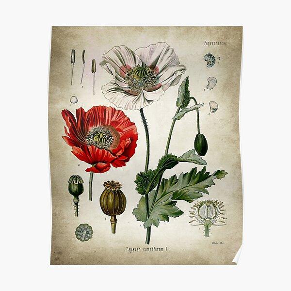 Opium Poppy Posters Poster
