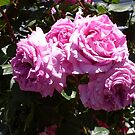 Rose 7 by Beverley  Johnston
