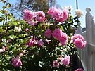 Rose 12 by Beverley  Johnston
