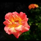 beautiful glowing peace roses by Beth Brightman
