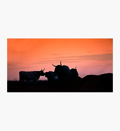 Cattle in Sunset Photographic Print