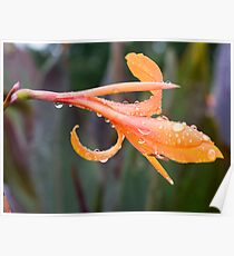 Raindrop Lily Poster