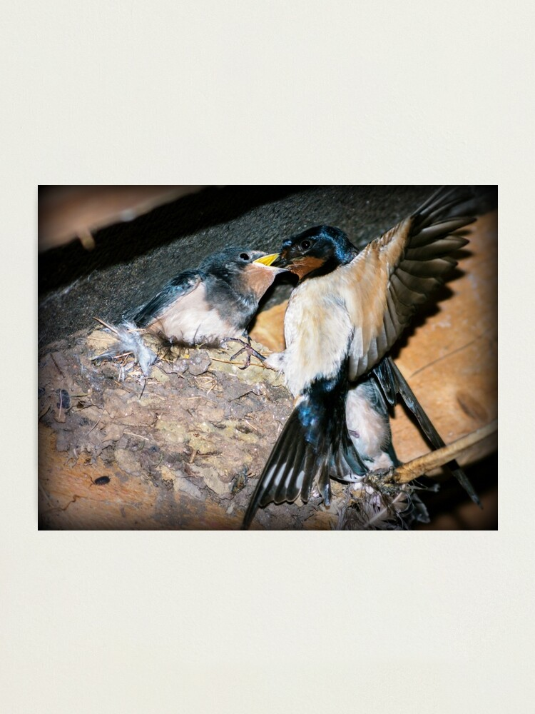 Alternate view of Swallow feeds chick. Photographic Print