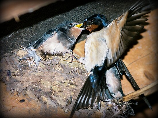 Swallow feeds chick. by ScenicViewPics