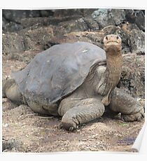 Lonesome George (Galapagos Calendar #4) Poster