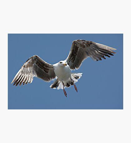 Inbound Sea Gull Photographic Print