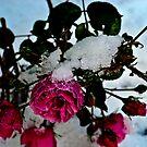 The Last Rose by Kelvin Hughes