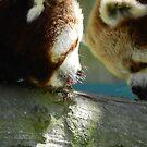 Red Panda Print 4 by NonfatalNerdism