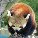 Red Panda Print 6 by NonfatalNerdism
