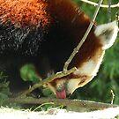 Red Panda Print 8 by NonfatalNerdism