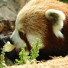 Red Panda Print 12 by NonfatalNerdism