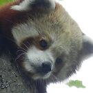 Red Panda Print 13 by NonfatalNerdism