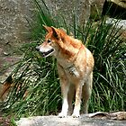 Alert Dingo by Janette Anderson
