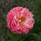 peony#5, Blenheim, garden festival, NZ by johnrf