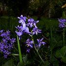 beautiful spotlit bluebells by dedmanshootn
