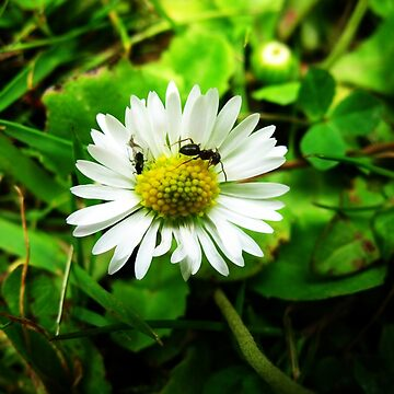 Daisy Two by yvonnecarsley