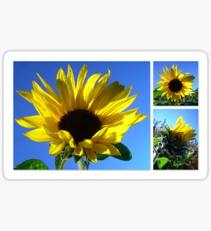 Sunflowers with morning dew  Sticker