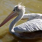 Pelican at the zoo by agenttomcat