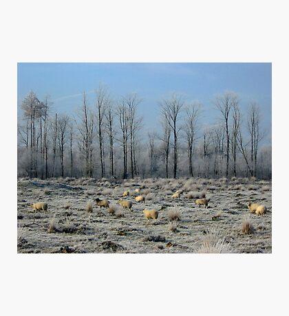 Sheep in Frozen Heatherfield Photographic Print