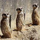 Meerkats by Richard Hepworth