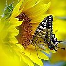 Sunflower... by Amir Saeed