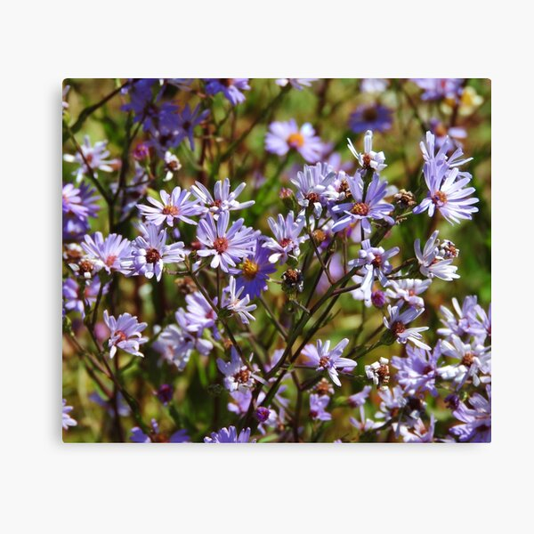 Purple Daisy's Canvas Print