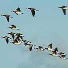 Barnicle Geese by Robert Abraham