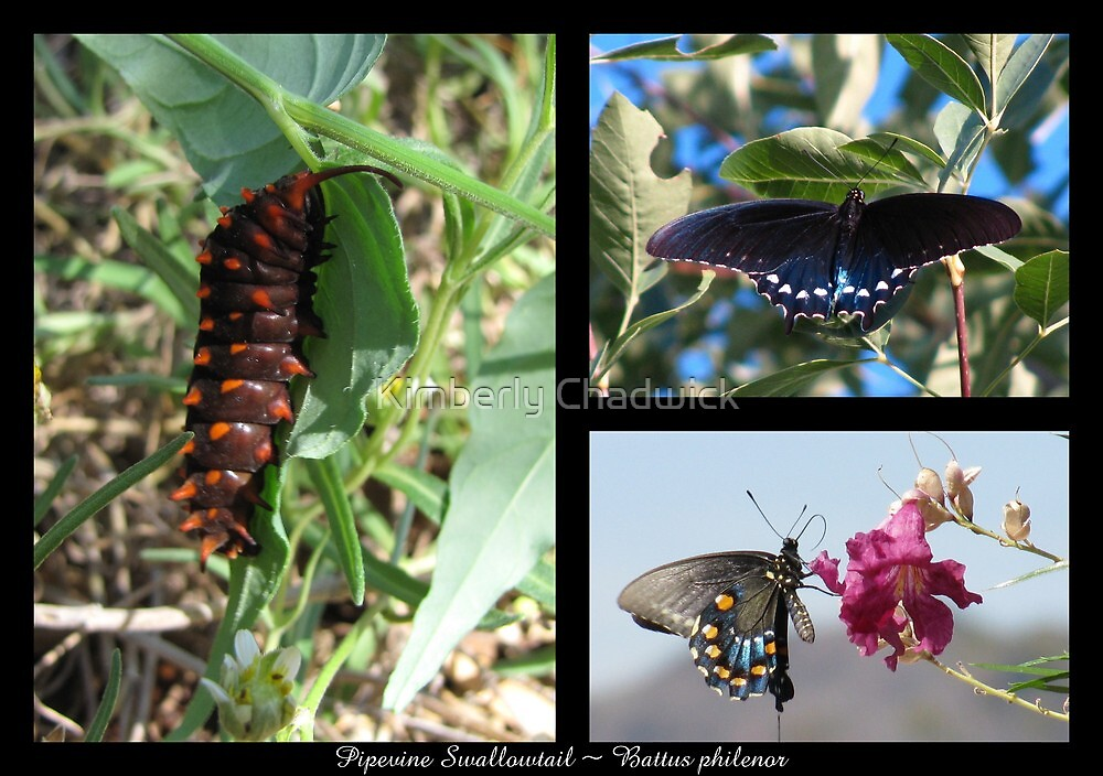 Butterfly Collage ~ Pipevine Swallowtail by Kimberly Chadwick
