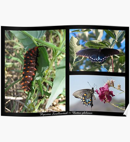 Butterfly Collage ~ Pipevine Swallowtail Poster