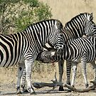 Young zebra suckling! by Anthony Goldman