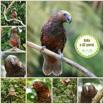 Kaka, a New Zealand Parrot by curiouskiwi