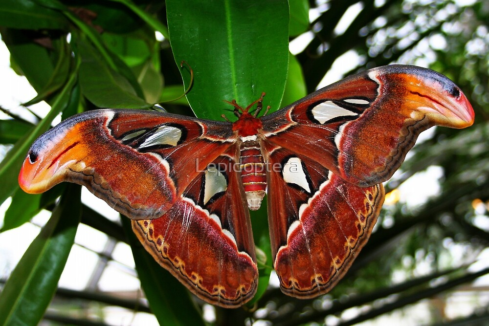 Atlas Moth Attacus Atlas By Lepidoptera Redbubble