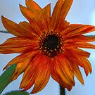 Orange Sunflower by Nicky  McQueen