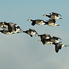 Flying Barnicle Geese by Robert Abraham