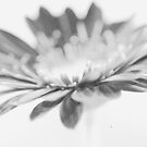 Gerbera Grain by EventHorizon