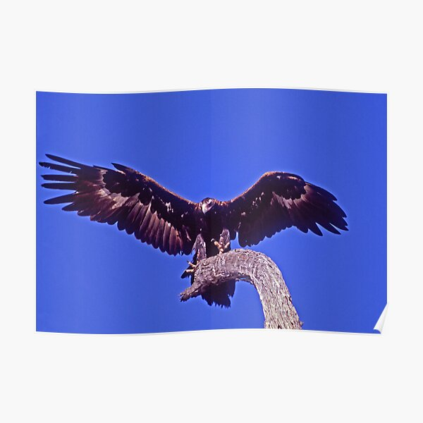 Wedge-tailed Eagle, Injune, Queensland Poster