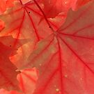 Red Maple Leaves - Dunrobin Ontario by Debbie Pinard