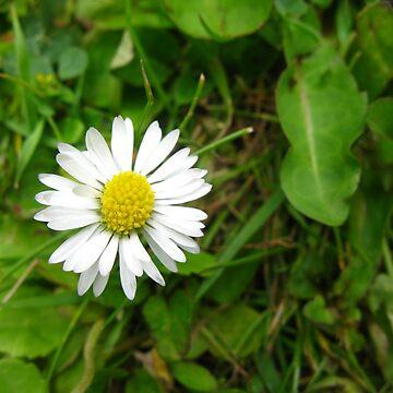 Daisy Three by yvonnecarsley
