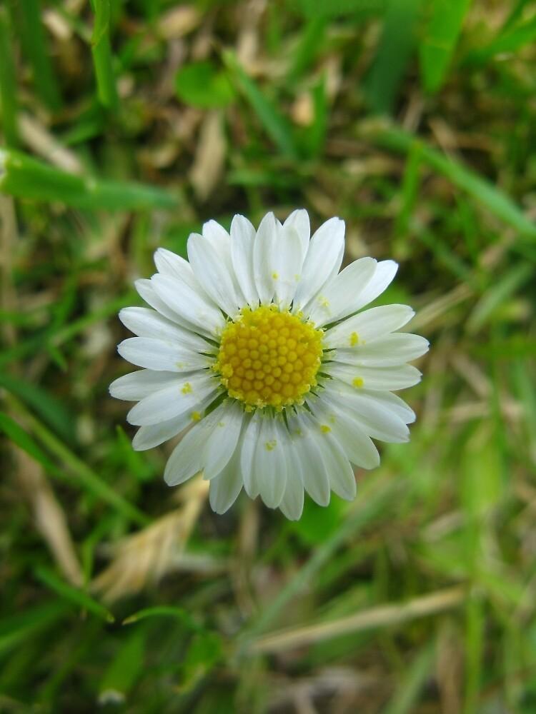 Daisy Four by Yvonne Carsley