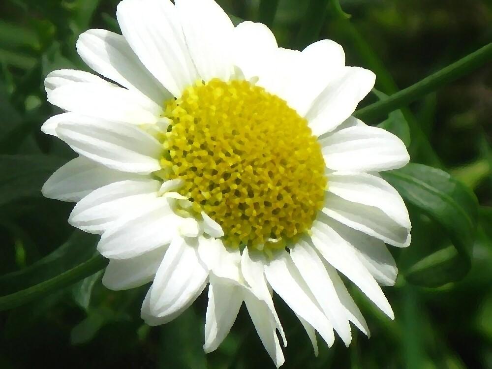 Daisy Six by Yvonne Carsley