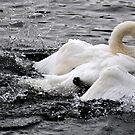 Swan by KChisnall