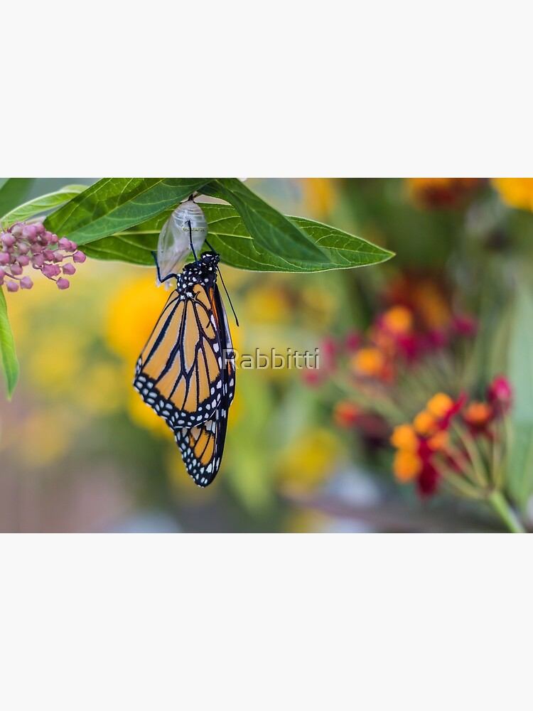 Monarch Butterfly, newly emerged from Chrysalis, on milkweed by Rabbitti